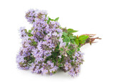 Medicinal plant: Thyme - 90514141
