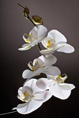 White Orchid, Phalaenopsis © orlio