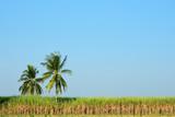 Sugar  cane field & coconut