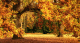 Fototapety Autumn scenery with a magnificent oak tree