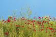 red poppy flower field background