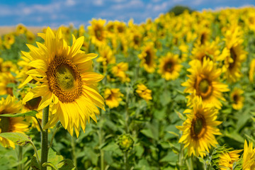 sun flowers field in Ukraine sunflowers