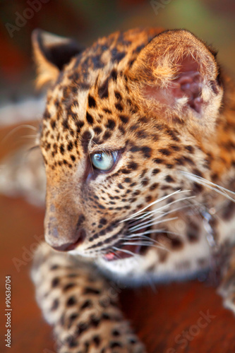 Poster Baby leopard in Thailand