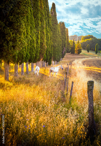Fototapeta Wild horses amongst cypress trees