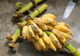 Musa sapientum Linn. or cultivated banana poster