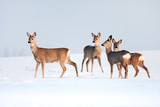 Fototapety Roe deer group in winter in a sunny day.