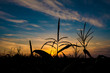 Silhouette of corn at sunset