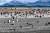 Penguins, Beagle Channel, Ushuaia, Argentina