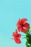 青空をバックに咲く南国のハイビスカス
