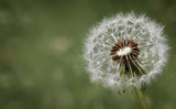 Condolence or sympathy design with dandelion flower