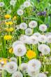 Multiple dandelions on the meadow - 90780363