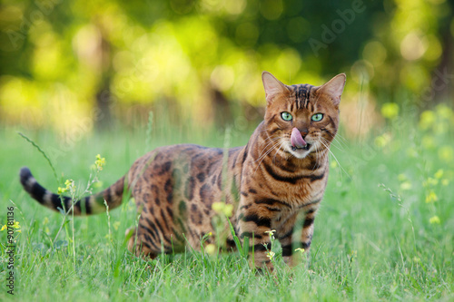Poster Bengal cat