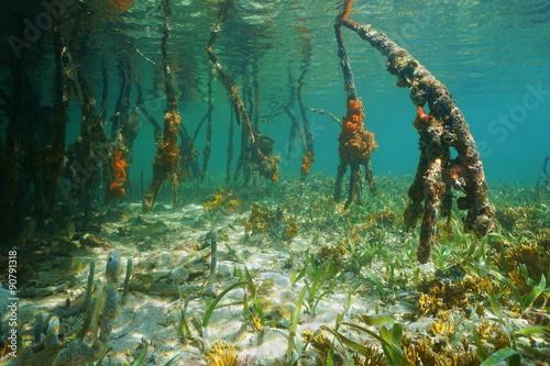 Poster Water planten Mangrove tree roots underwater Caribbean sea