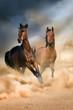Two bay stallion run at sunset in desert dust