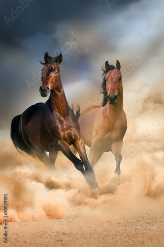 Fototapeta Two bay stallion run at sunset in desert dust