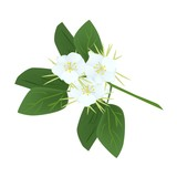 Snowy Orchid Flowers or Bauhinia Acuminata Flowers poster