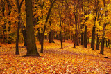 Fototapety colorful autumn maple trees in park