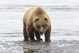 Fototapety Portrait of wild free roaming brown bear