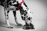 Dalmatian dog eating