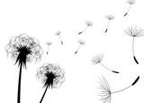 Dandelions - 91052377