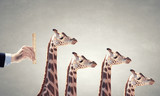 Measuring giraffe