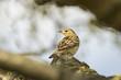Tree Pipit singing