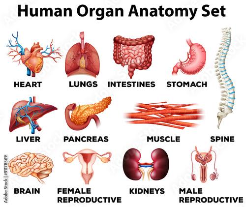 Human organ anatomy set