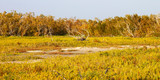 Coastal prairie of Everglades National Park dominated by saltwort (Batis Maritima)