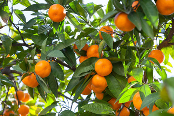 Tangerines in the green foliage