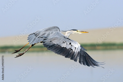 Flying Grey Heron above the lake - 91350773