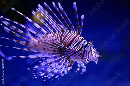 Pterois volitans. Fish close up