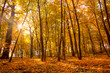 Morning in the Gold Autumn park with sunlight and sunbeams -