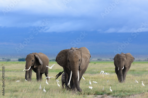 Plagát, Obraz African elephants / Kenya
