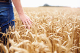 Farmer Walking Through Field Checking Wheat Crop - 91480556