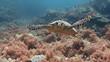 Постер, плакат: Парящие над коралловыми рифами черепахи близ островов Палау