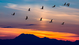 Migratory Birds Flying at Sunset - 91528916