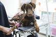 Beautiful doberman puppy lying on a veterinary table and gets an infusion. Vet holding infusion line attached to dog's leg. Short DOF and selective focus on veterinarian hand