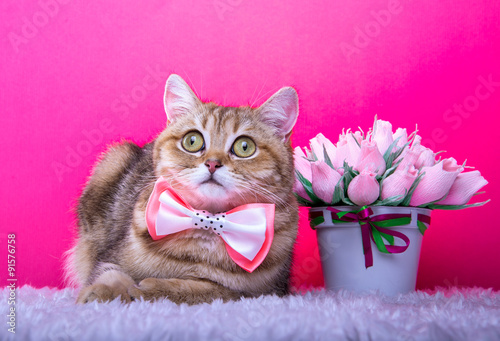 Papiers peints Rose Beautiful stylish british cat. Animal portrait. British cat with bow-tie is lying. Pink background. Colorful decorations. Collection of funny animals