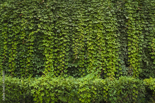 Green ivy Background Poster