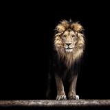 Portret pięknego lwa, lew w ciemności