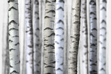 Fototapety seamless birch trees