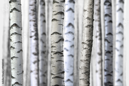 Fototapety, obrazy : seamless birch trees