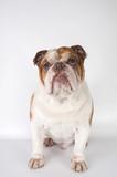English Bulldog sitting on a light background..