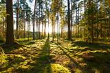 Fototapety Sunrise in pine forest