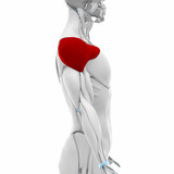 Deltoid - Muscles anatomy map poster