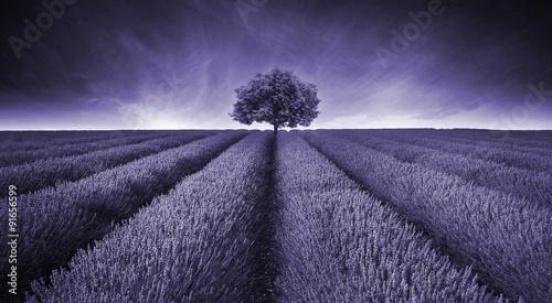 Fototapeta Beautiful image of lavender field landscape with single tree ton