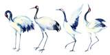 Fototapety Watercolor asian crane bird set