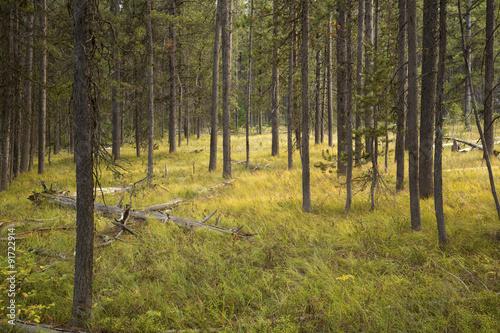 Golden light on grass, pine forest, Teton National Park, Wyoming