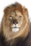 Fototapety Lion (Panthera leo)