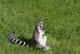 986 - lemur